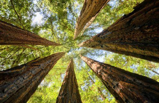 Big Redwoods in Big Basin State Park, CA