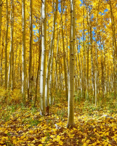 Golden Aspens - Maroon Bells Recreation Area, CO